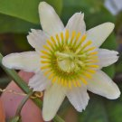 Passiflora biflora 15 Seeds