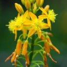 BULBINE NATALENSIS 20 Seeds