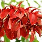 Erythrina Arborescens 10 Seeds