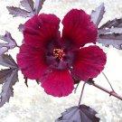 Hibiscus acetosella rare 15 Seeds