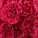 Bright Red Carnation 100 Seeds