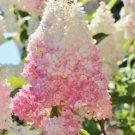 Light Strawberry Hydrangea 5 Seeds