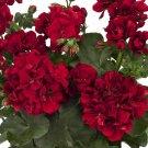 Double Red Geranium 10 Seeds