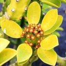 Euphorbia neriifolia 10 Seeds