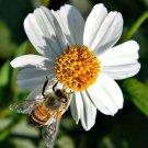 Bidens Pilosa Alba 250 Seeds