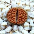 Lithops hookeri vermiculate 15 Seeds
