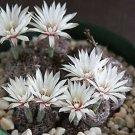 Gymnocalycium mesopotamicum 20 Seeds