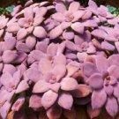 Graptopetalum pentandrum 100 Seeds