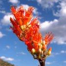 Fouquieria Splendens Ocotillo 25 Seeds