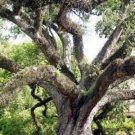 Quercus virginiana Live oak 5 Seeds