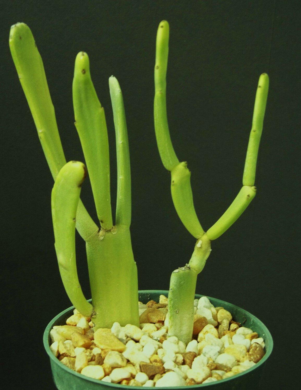 Euphorbia Enterophora ssp 4 Pot