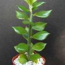 Pereskiopsis Spathula 4 Pot