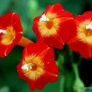 FLOWERING RED MORNING GLORY 20 SEEDS