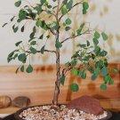 Euphorbia misera 50 Seeds