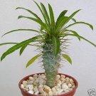Pachypodium lamerei 4 Pot