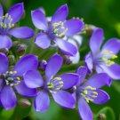 lignum vitae Guaiacum sanctum 100 Seeds