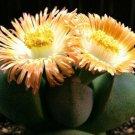 Pleiospilos Nelii 20 Seeds