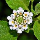 Lantana involucrata Buttonsage 20 Seeds