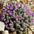 Gibbaeum pubescens 50 SEEDS