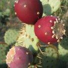 Opuntia ficus indica 50 SEEDS