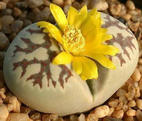 Lithops dorotheae 15 SEEDS