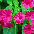 Four o'clock mirabilis jalapa maravilla 50 Seeds