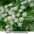 Queen Anne's Lace 500 Seeds