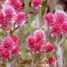 Pussytoes- Red-Antennaria Dioica- 50 Seeds