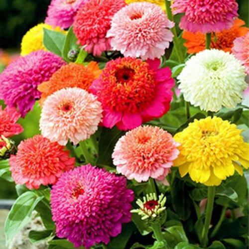 Zinnia- Elegans - Scabiosa flowered- 100 Seeds