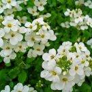 Rock Cress (Aubrieta)- Alpine White - 100 Seeds