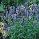Catmint (Nepeta Mussinii)- 50 seeds