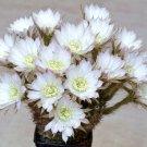 Echinopsis ancistrophora 15 Seeds
