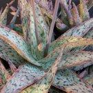 Aloe cultivar SUNRISE hybrid 10 SEEDS