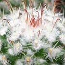 Mammillaria bombycina Cactus 3.5 Pot