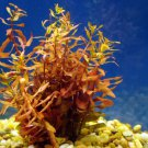 x3 Ammania Gracilis Potted Freshwater Live Aquarium Tropical Plant Decorations