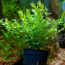 Rotala Indica Bossii Potted Stems Freshwater Live Aquarium Plants Decoration Ada