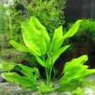 Echinodorus Martii Major Pot Ruffled Amazon Sword Freshwater Live Aquarium Plant