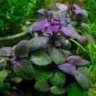 Lobelia Cardinalis x3 Bundles Easy Freshwater Purple Live Aquarium Plant Dwarf