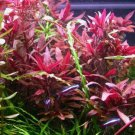 Alternanthera Reineckii Variegatus Pot Freshwater Live Aquarium Plant Beginner