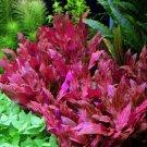 Alternanthera Reineckii Rosanervig Red Pot Freshwater Live Aquarium Plant Stems