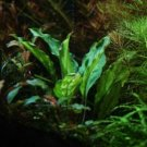 Piptospatha Ridleyi Tissue Culture Freshwater Live Aquarium Plants Fresh Aquatic