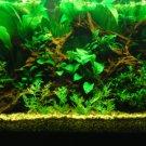 Echinodorus Argentinensis Bunch Amazon Sword Freshwater Live Aquarium Plant Rare