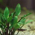 Cryptocoryne Lutea Tissue Culture Crypt Freshwater Live Aquarium Plant Green Ada