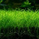 Dwarf Hairgrass Eleocharis Parvula TIssue Culture Freshwater Live Aquarium Plant