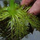 Hottonia Inflata Tissue Culture American Featherfoil Live Aquarium Plant easy