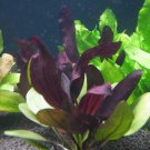 Echinodorus Aflame Purple Knight Amazon Sword Freshwater Live Aquarium Plants
