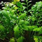 Rorippa Aquatica Bundle Water Cabbage Exotic Live Aquarium Plant Decorations Koi