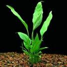 Spathiphyllum Wallisii Peace Lily Freshwater Live Aquarium Plants Decorations