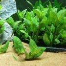 Staurogyne Repens Porto Velho Bundle Freshwater Live Aquarium Plant Decorations