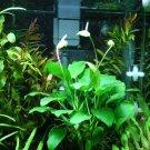 Anubias Species Full Leaf Short Sharp Big Potted Freshwater Live Aquarium Plant